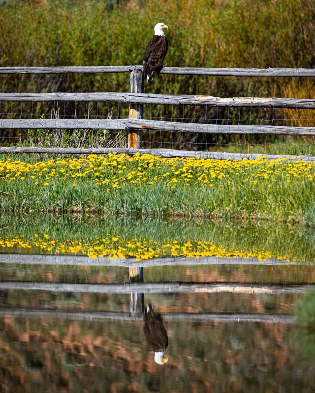 Bald Eagle at Red Rock Ranch - photo by Jessica Lee